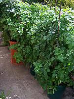 Several Potato Bins in Yard
