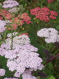 Yarrow - Achillea Millifolium