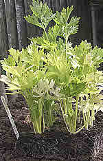 celery plants grown from garden seeds