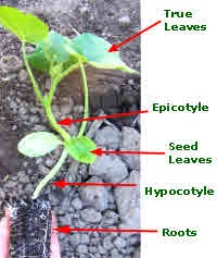 epigeal germination with cucumber seed leaves above ground