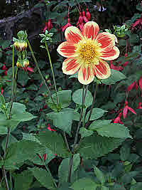 Dahlia - late summer flower star