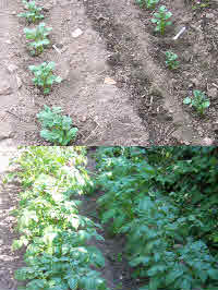 Growing potatoes is a healthy job worth every bit of time & effort