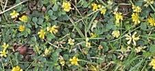 Flowering-Medic-Lawn