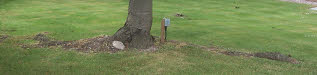 Tree Roots Invade Growing Lawns