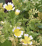 Poached Egg Plant - Limnanthes douglasii