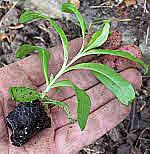 Ready Grown Plant Plug