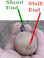 Upside down potato tuber showing stalk end and shoot end
