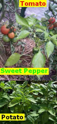 Tomato, Sweet Pepper & Potato plants