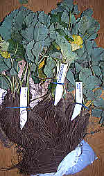 Strawberry plants sent as bare roots arrived in good condition. All survived.