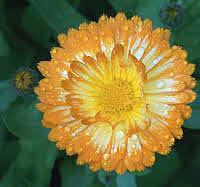 Calendula Flowers - Pot Marigold
