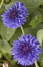 Batchelors Buttons - Centaurea...