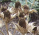 Eryngium is an architectural plant