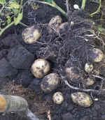 Lifting a crop of potatoes