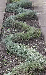 Low curved Lavender Hedge