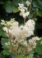 Meadowsweet - plant used by the  Druids