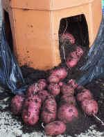 My Potato Barrel Harvest of Red Duke of York