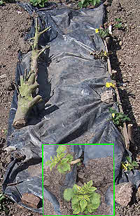 Controlling weeds & growing potatoes under a sheet