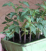tray of tomato seedlings