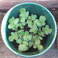 Tub Growing Young Potato Plants