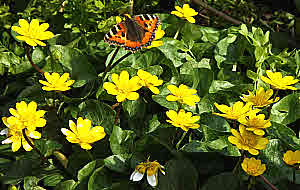 Tortoise Shell on Celandine