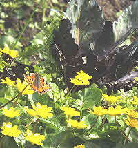 Celandine with cabbage attracts butterfly