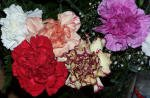 Carnation Flowers close up