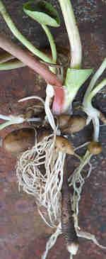 Pretty Lesser Celandine Root Tubers