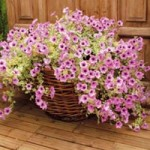 Plant Container - Petunia Pink Ice