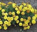 companion plant tagetes patula 'safari bee'