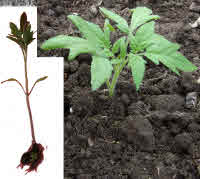 Plant tomato seedlings deep.