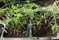 Tomato Seedling Tray