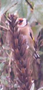 wild flowers - Goldfinch gleaning seed from evening primrose