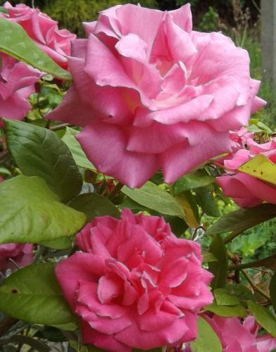 Rose Zephirine drouhin from my window