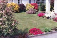 Blooming garden Azaleas & Rhododendrons