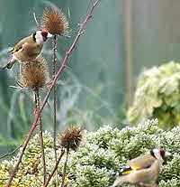 Goldfinch feeding on Teasel in February.