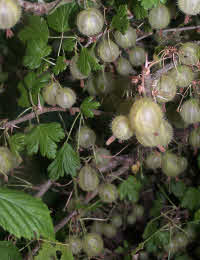 Gooseberry Invicta good reliable cropper & early