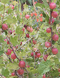Gooseberry Pax ripens from pale to deep red