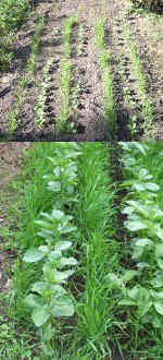 Rye & Field Beans growing as a 'Green Manure'