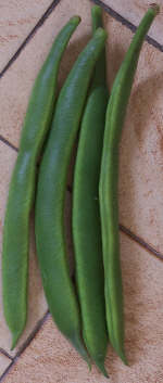 growing runner beans provides tasty pods to eat fresh or to freeze