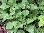 Nettles  Urtica dioica - cut the shoots to make teas.