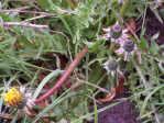 Dandelion - Taraxicum - weed